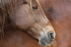 Horse profile. Outdoor profile portrait of a brown horse Stock Image