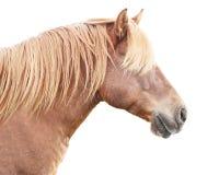Horse profile. Beautiful draft horse isolated on white background Royalty Free Stock Photo