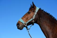 Horse with braided mane Royalty Free Stock Image