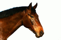 Horse profile head portrait on white. A beautiful brown purebred Hanoverian horse profile head portrait staring with alert facial expression. Image isolated on Royalty Free Stock Photo