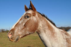 Horse profile portrait. Outdoor head profile portrait of an alert looking brown and white horse Stock Image