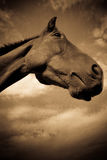 A horse in profile in sepia Stock Photos