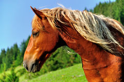 Horse profile. A profile shot of a wild horse in the Romanian mountains Stock Photography