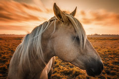 Horse Profile with Sunset Royalty Free Stock Image