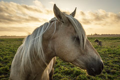 Horse Profile with Sunset Stock Images