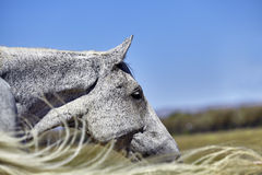 Horse Profile with Tail Blowing Royalty Free Stock Photo