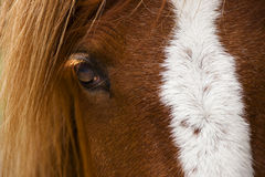 Horse Profile. Horse in profile with white blaze Royalty Free Stock Photos