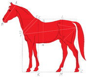 Horse proportions Stock Image