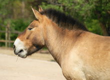 Horse Przewalski detail Heads, Royalty Free Stock Image