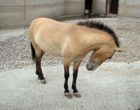 Horse Przhevalskogo Equus przewalskii Royalty Free Stock Photos