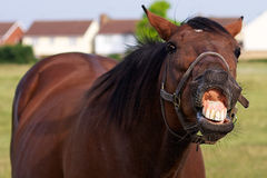 Horse Pulling Funny Face stock photos