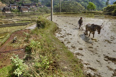 Horse pulling plow on flooded rice field, Zhaoxing, Guizhou, Chi Stock Photo