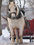Horse pulling sleigh in winter. White horse pulling red sleigh in winter Stock Photography