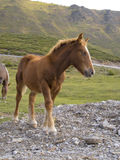 Horse at the Pyrenees Stock Image