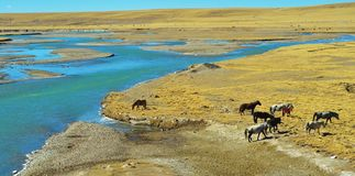 The horse on the Qinghai-Tibet Plateau Royalty Free Stock Photography