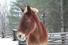 Horse in Quebec. Canada, north America. Horse in Quebec. Canada north America stock photography