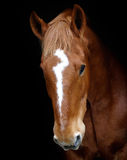 A Horse With a Question Mark On It's Face. A Suffolk Punch stallion head against a black background with an unusual face marking Stock Images