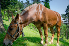 Horse. A horse is quiet horse eating grass Stock Photo