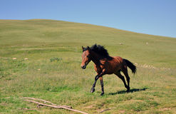 Horse race. Beautiful wild brown horse galloping on Shar mountain Stock Photography