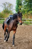 Horse  on the racetrack . Horse harness rides on the racetrack Stock Image