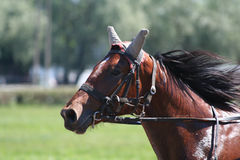 Horse racing. In Estonia.Horse on the runway Royalty Free Stock Photography