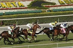 Horse Racing at Beautiful Santa Anita Race Track. A field of thoroughbred horses races down the grass turf track at beautiful Santa Anita Race Track in Arcadia stock photography