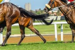Horse Racing Body Legs Heads. Race horses jockeys racing pounding grass track closeup photo of heads body legs hoofs of animals Royalty Free Stock Image