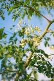 Horse radish or Moringa Oleifera tree flowers. Food and Herb stock photos