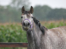 Horse In The Rain Stock Images
