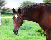 Horse with a raised hoof Stock Photography
