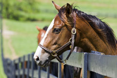 Horse Ranch. A horse ranch in Kentucky, USA with horses standing along a fence Royalty Free Stock Photo