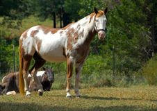 Horse on ranch. A beautiful white horse with brown spots standing on a farm and staring Royalty Free Stock Images