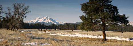 Ranch Livestock at the Base of Three Sisters Mountains Oregon Royalty Free Stock Photography