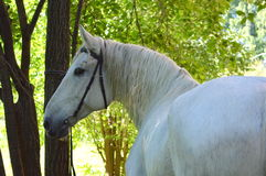 Horse. The horse reaches an average age of 25-30 years, among some breeds pony meet animals surviving to 40 years. The brain is relatively small, and hemispheres Royalty Free Stock Photo