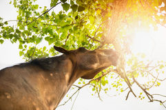 Horse reaches to crown of tree Stock Photos