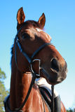 Horse ready for action Royalty Free Stock Photos