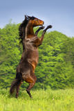 Horse rearing up. Beautiful bay horse rearing up in spring green field stock image