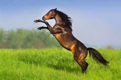 Horse rearing up. Beautiful bay horse rearing up in spring green field royalty free stock photo