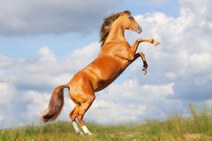 Horse rears. In a field stock photos