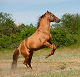 Horse rears Royalty Free Stock Photos
