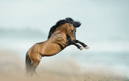 Horse rears up Stock Images