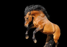 Horse rears on white Stock Photos
