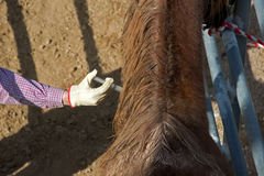 Horse receiving injection Stock Images