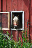 Horse in a red barn Royalty Free Stock Photography