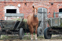 Horse with a red barn. Stock Photo