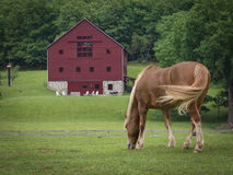 Horse and Red Barn. A horse grazing in a green pasture with a large red barn in the distance Royalty Free Stock Image