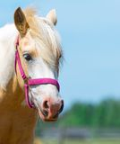 Horse with red bridle. Royalty Free Stock Image