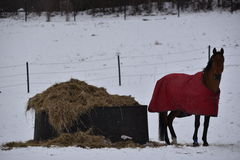 Horse with red cloak during a snowy day, Kolmarden, Ostergotland, Sweden. Winter time in a swedish farm, Kolmarden area, Ostergotland region, view over a horse Stock Photos
