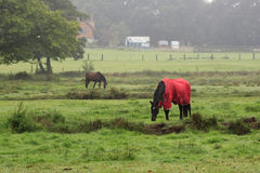 Horse with Red Coat. Horses grazing in a field. One horse has a red coat Royalty Free Stock Image