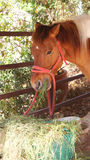 Horse. Red horse is eatting the grass stock image
